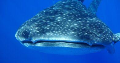 Et si on allait nager avec les requins-baleines à Sainte-Hélène ?